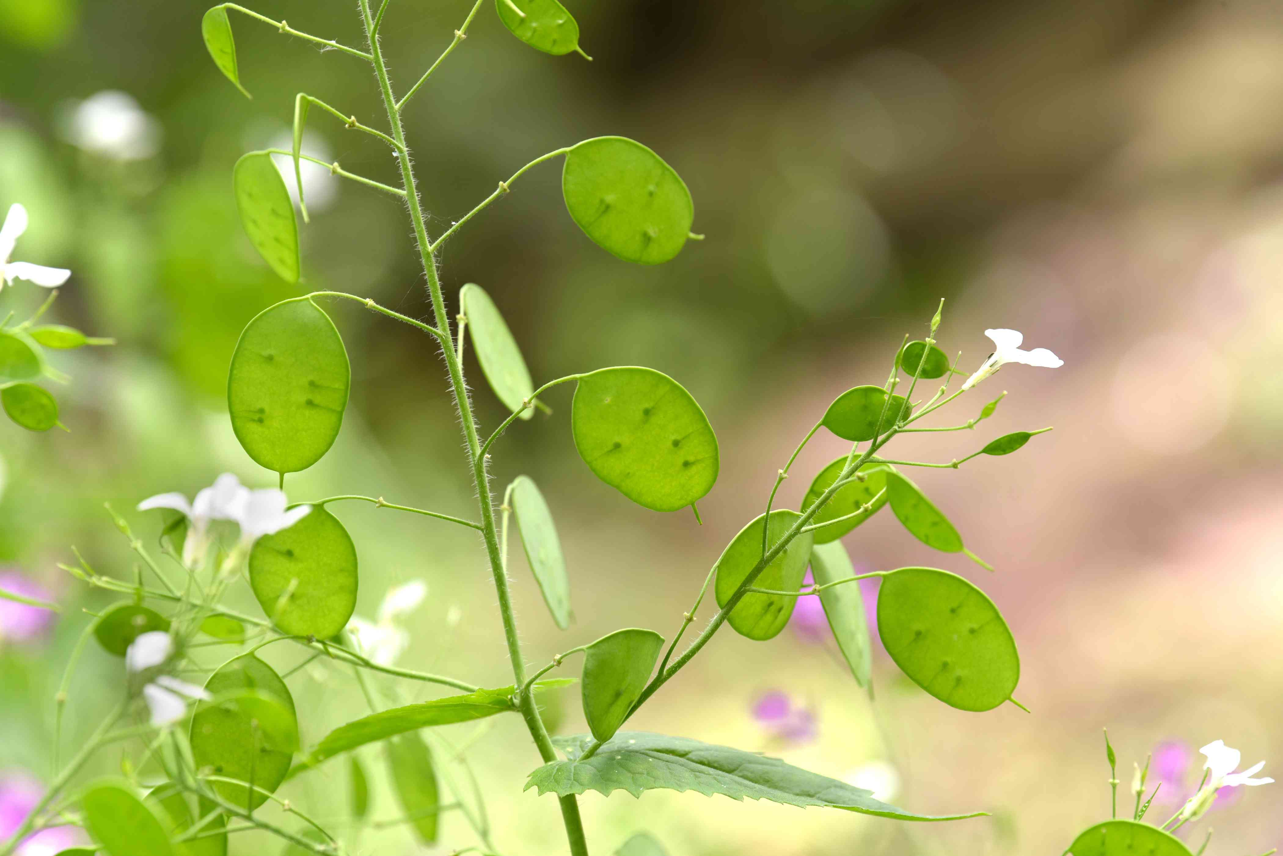 Lunaria plant with round green leaves on thin stem and small white flowers