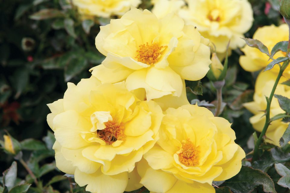 A closeup of Anthony Meilland Rose 'Meitalbaz'