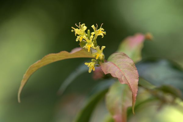 Northern bush honeysuckle shrub with tiny yellow trumpet-shaped flowers next to red-green leaves closeup