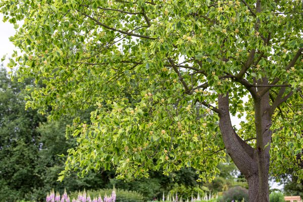 Tuliptree with wide-spread canopy of bright green leaves in garden