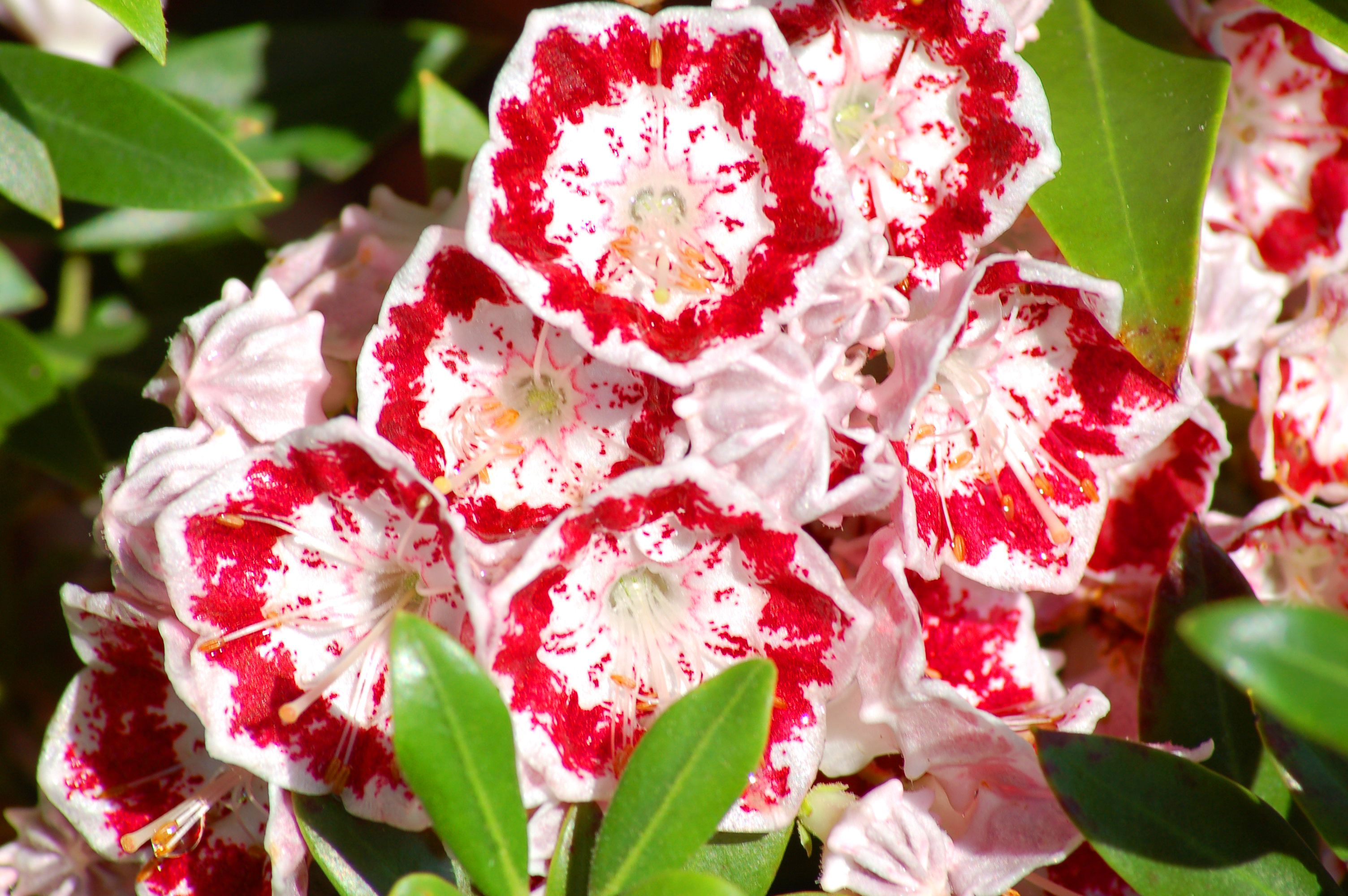 Minuet laurel has reddish-pink flowers.