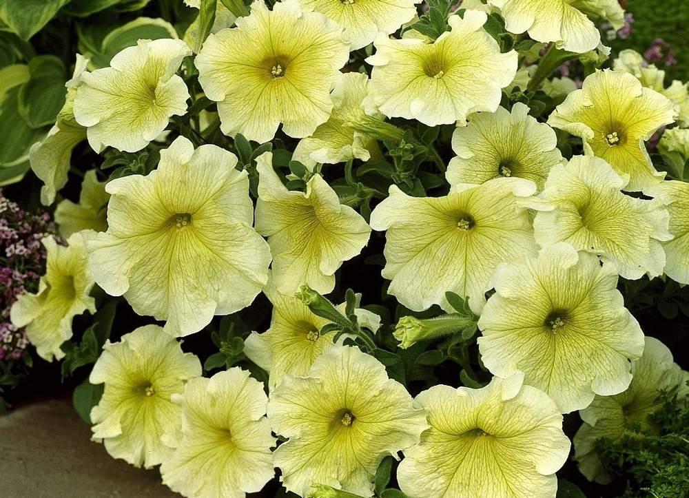 'Prism Sunshine' petunias with yellow petals