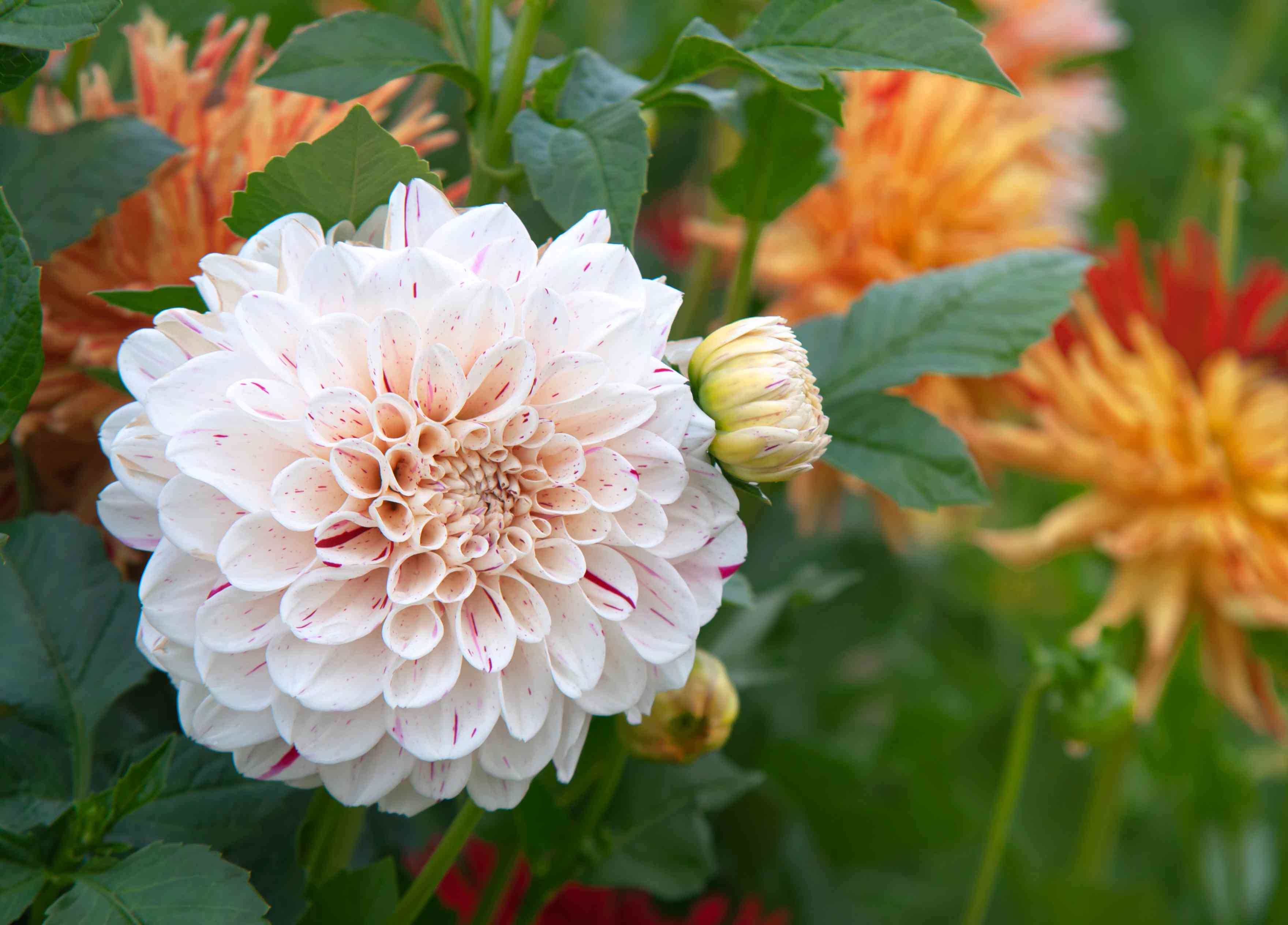 Dahlia 'Hulins Carnival' with white and pink speckled ornamental flowers and buds closeup