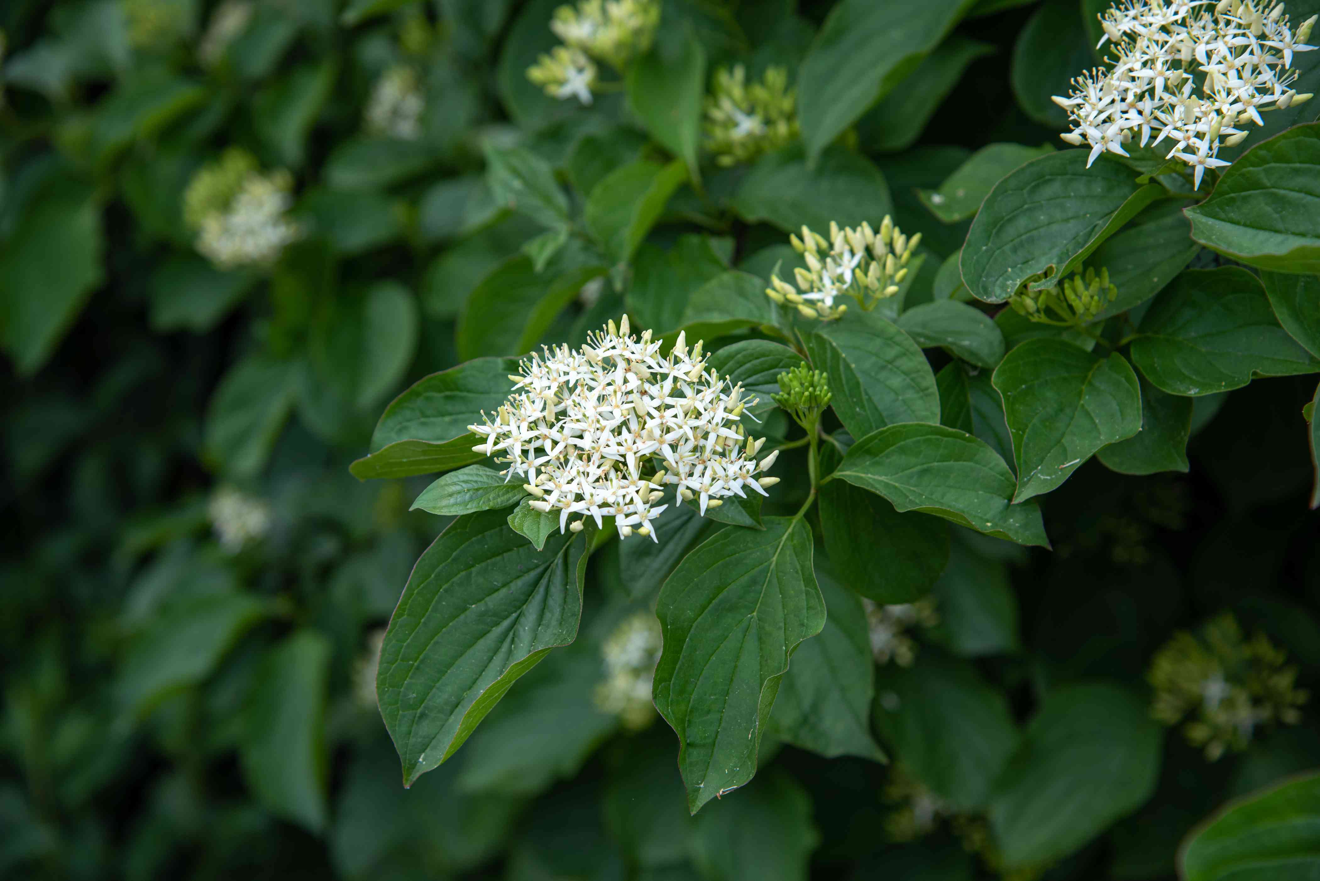 Silky dogwood shrub branch with large leaves and cluster of small white flowers closeup