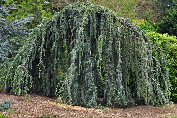 Blue atlas cedar tree with drooping twisted branches