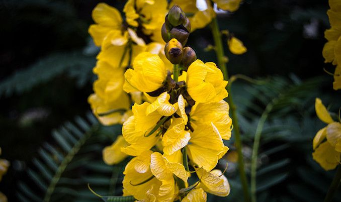 Bright yellow flowers with brown buds on panicles and dark green leaves in background