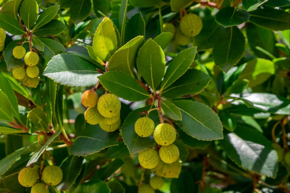Strawberry tree shrub branches with yellow fruit hanging beneath