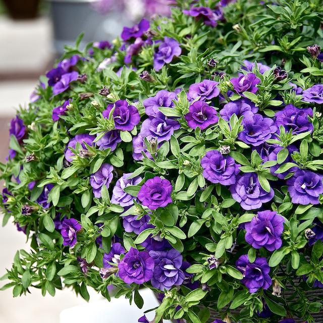 Purple Double Calibrachoa