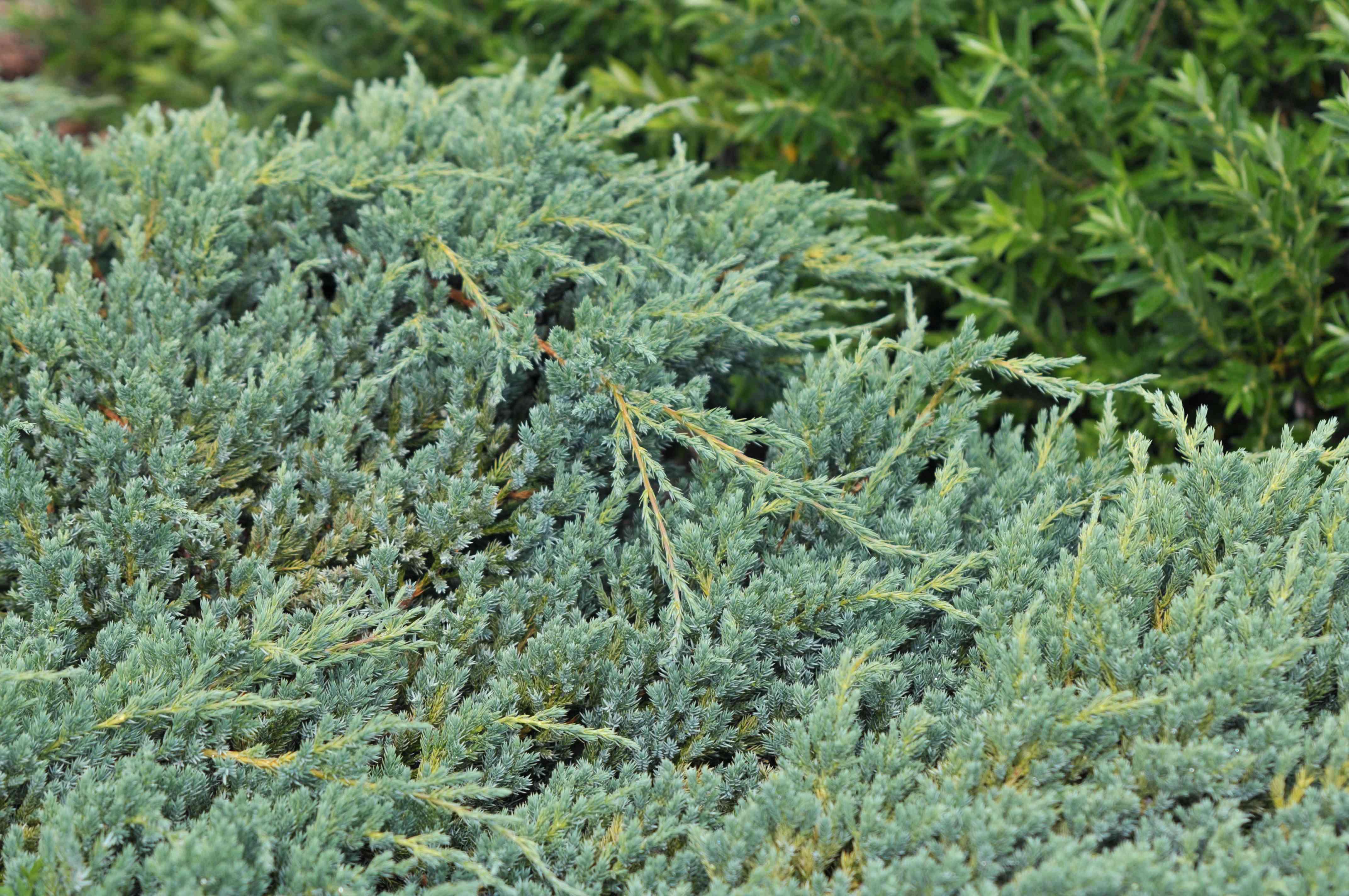 Blue carpet creeping juniper closeup