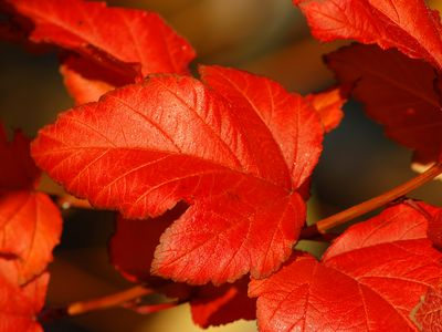 14 Best Shrubs and Vines for Fall Color