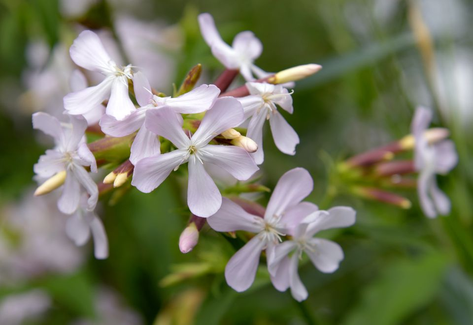 Soapwort herb plant with small white flower clusters and buds closeup