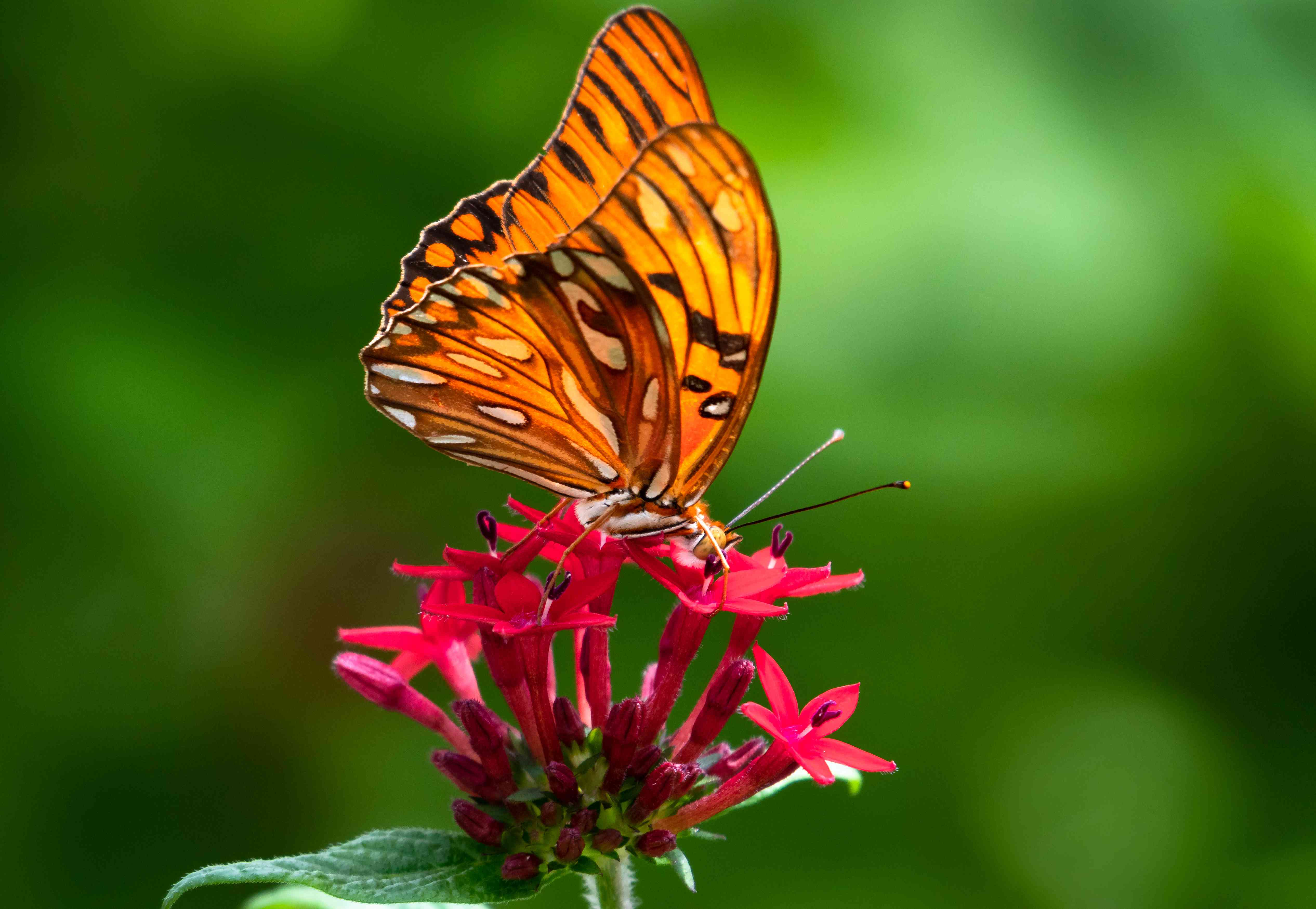 A Gulf Fritillary Butterfly on a Penta flower