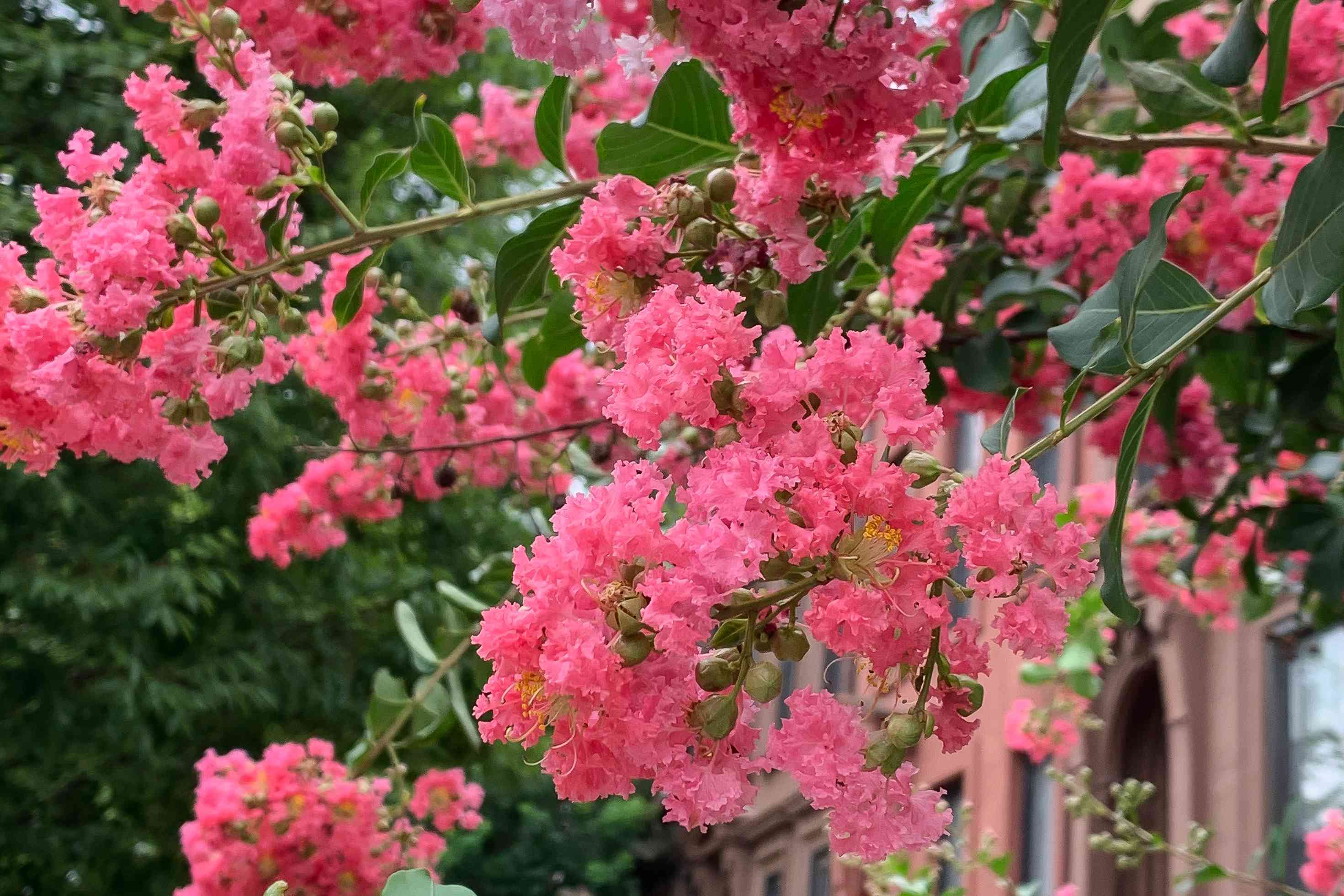 Crape myrtle tree branches with bright pink flowers clustered near leaves