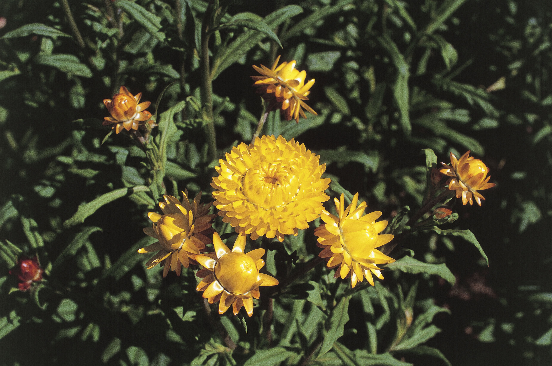 High angle view of Strawflowers (Helichrysum Bracteatum)