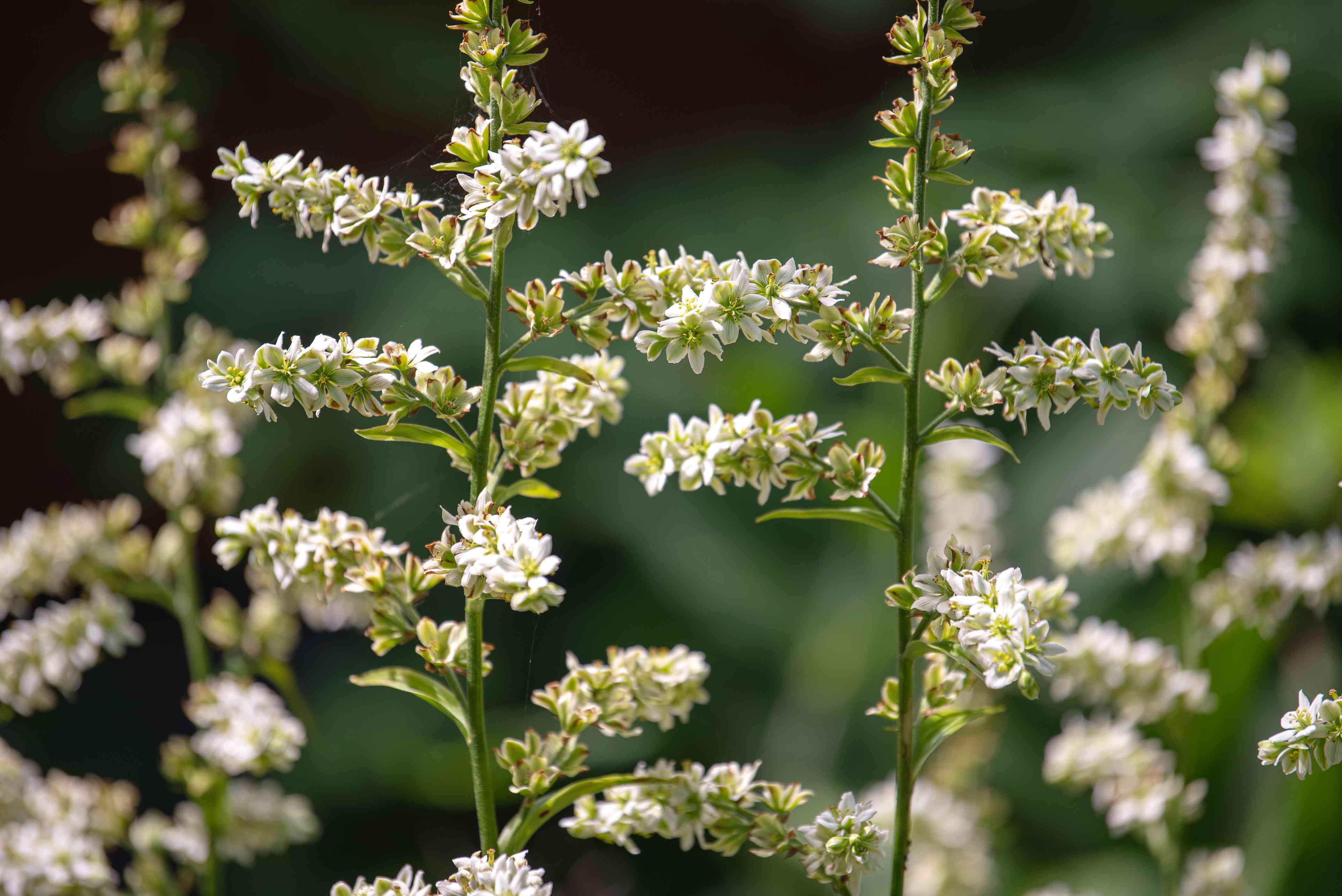 False hellebore plants with thin stems and small white flower panicles closeup