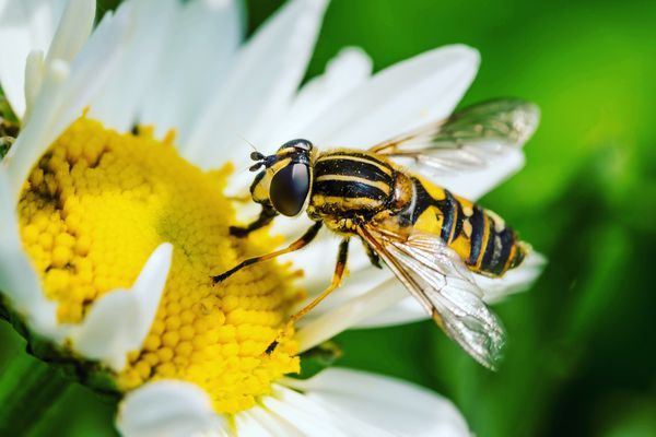 Close-Up Of Wasp Pollinating On Flower