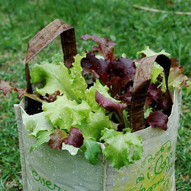 Lettuce Container Garden: How To Grow Lettuce In A Reusable Grocery Bag