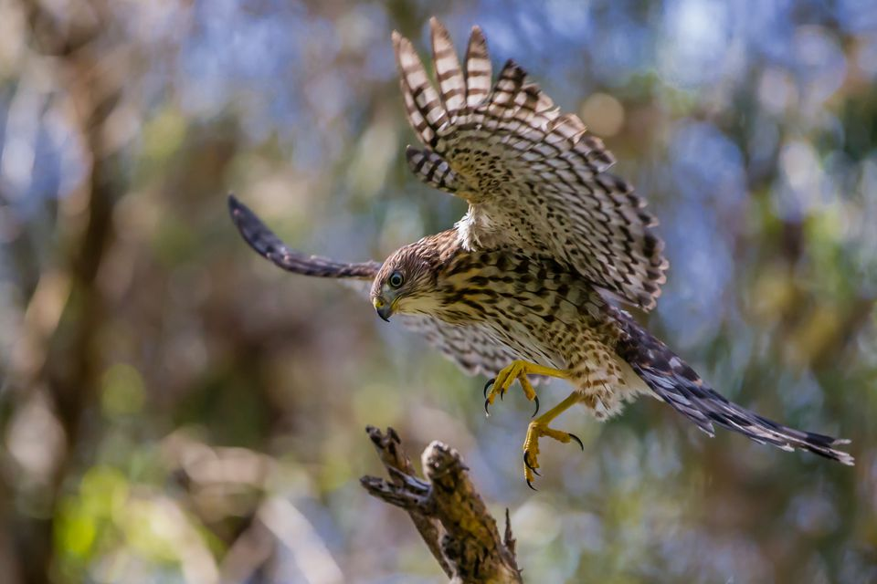 A Cooper's Hawk making a landing on a branch