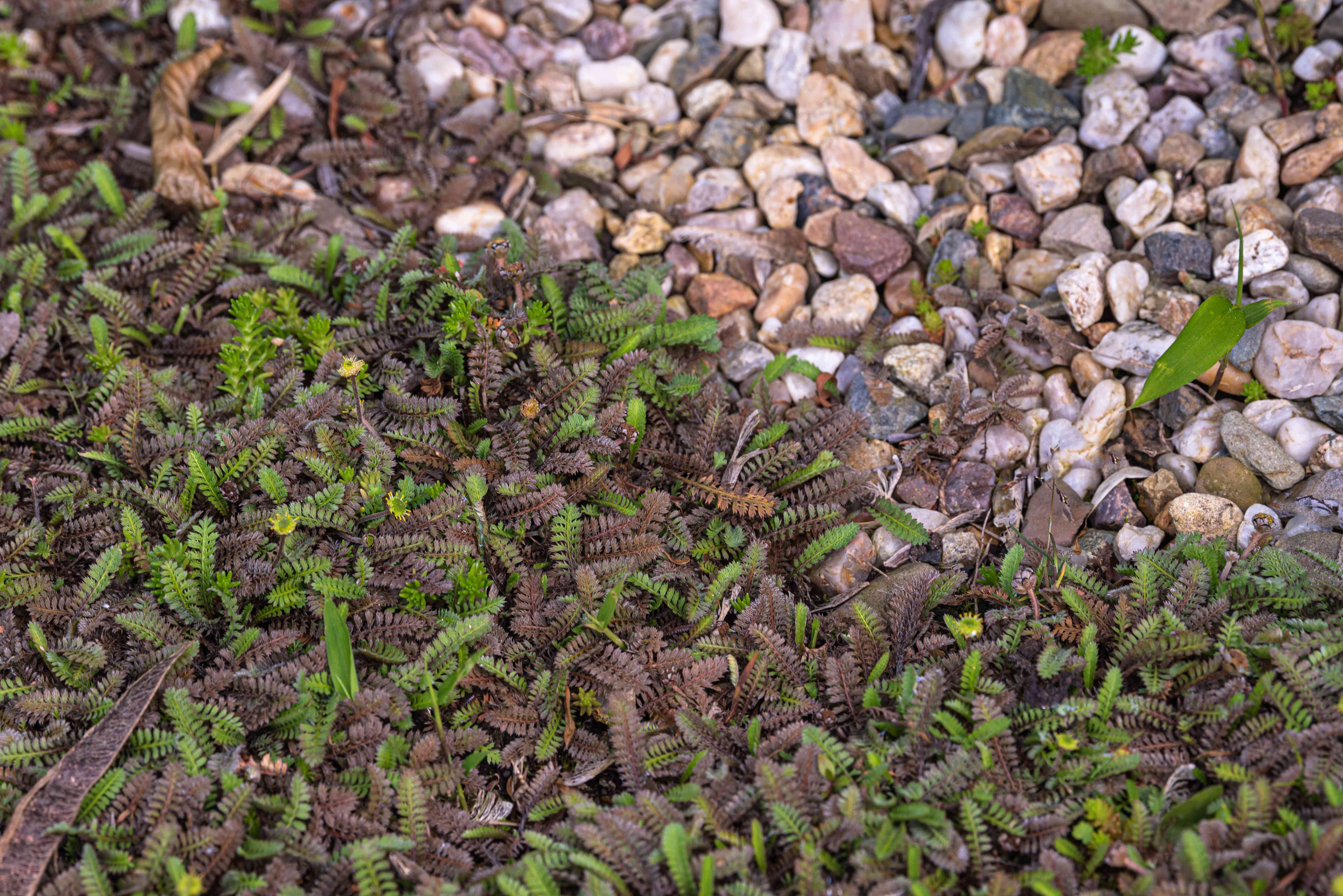 Brass buttons plant with purplish and green ferny foliage next to small rocks