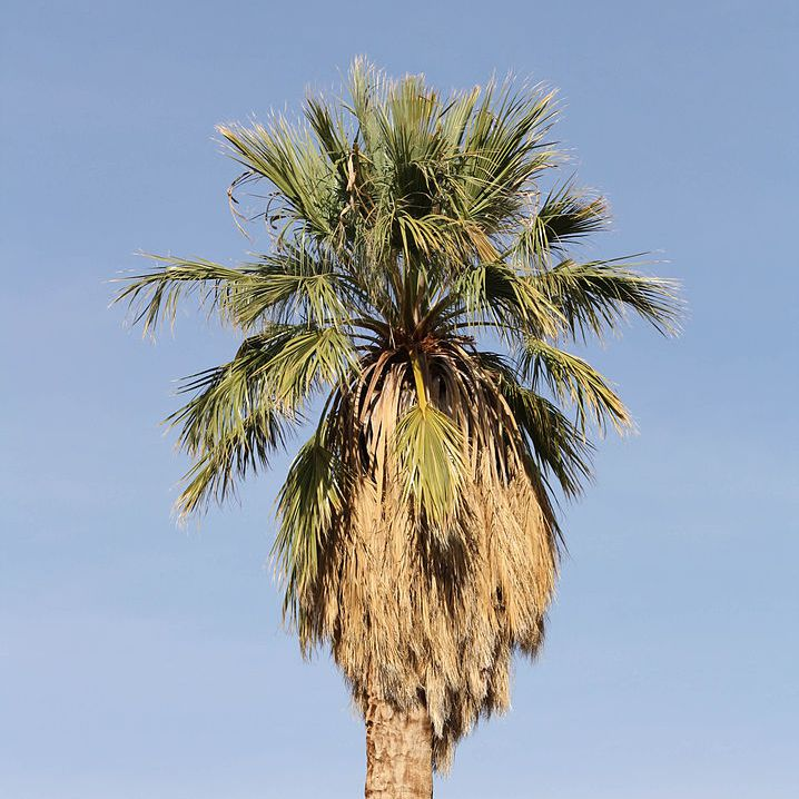 California fan palm with green and brown fronds