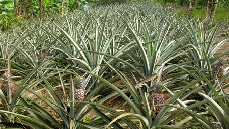 Growing Pineapple Plants At Home