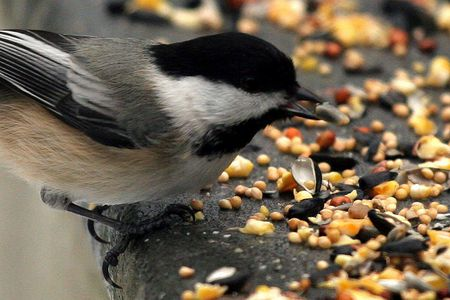 Birds eating canary seed