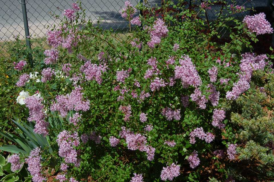 Picture: Bloomerang lilac.
