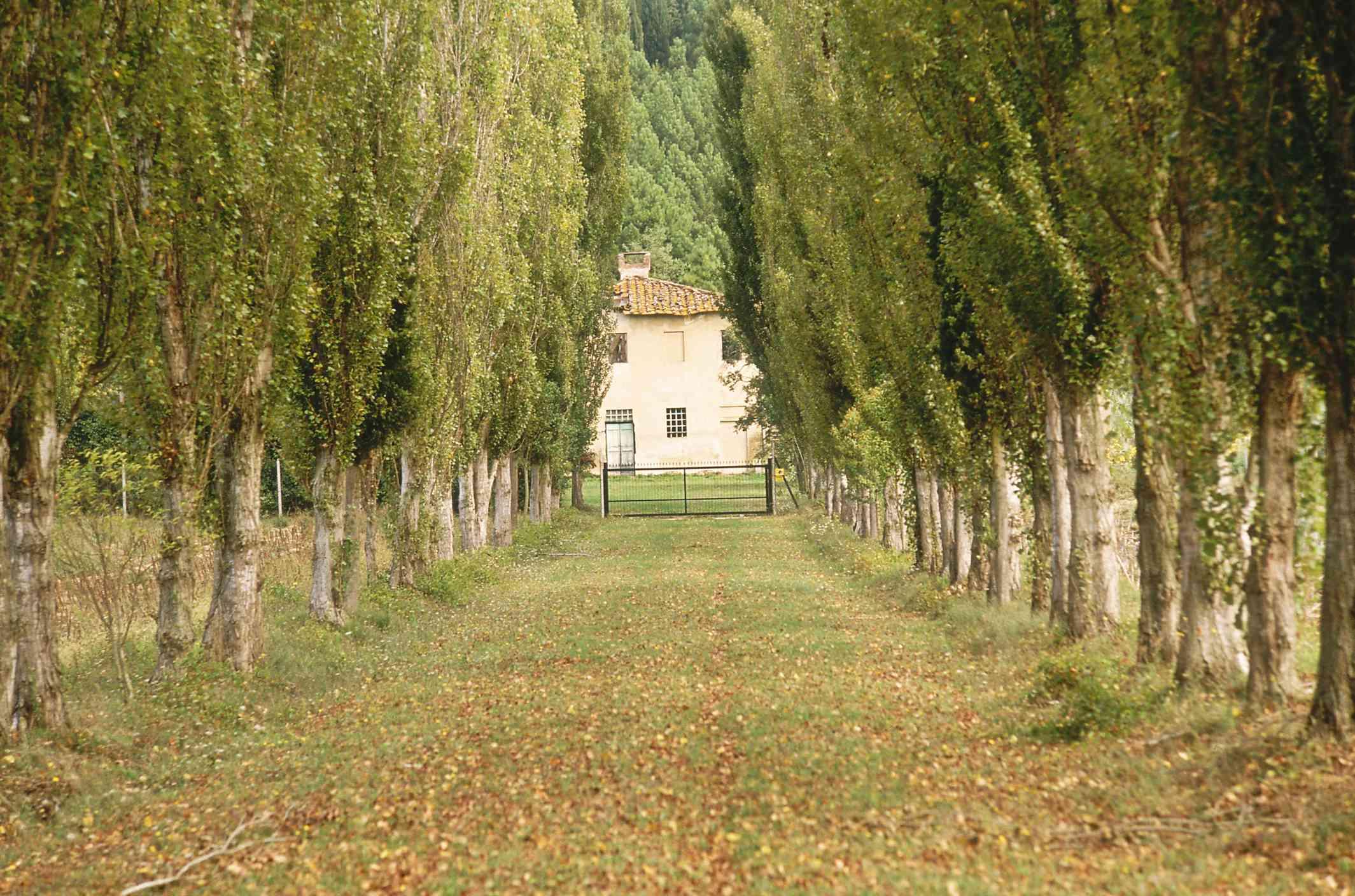 An allée of Lombardy Poplar in Italy