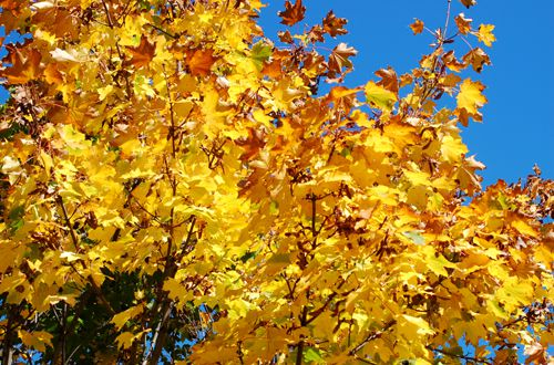 Norway maples reveal two distinct looks, while Amur maple trees do better in small spaces.