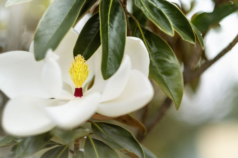 una flor de magnolia blanca