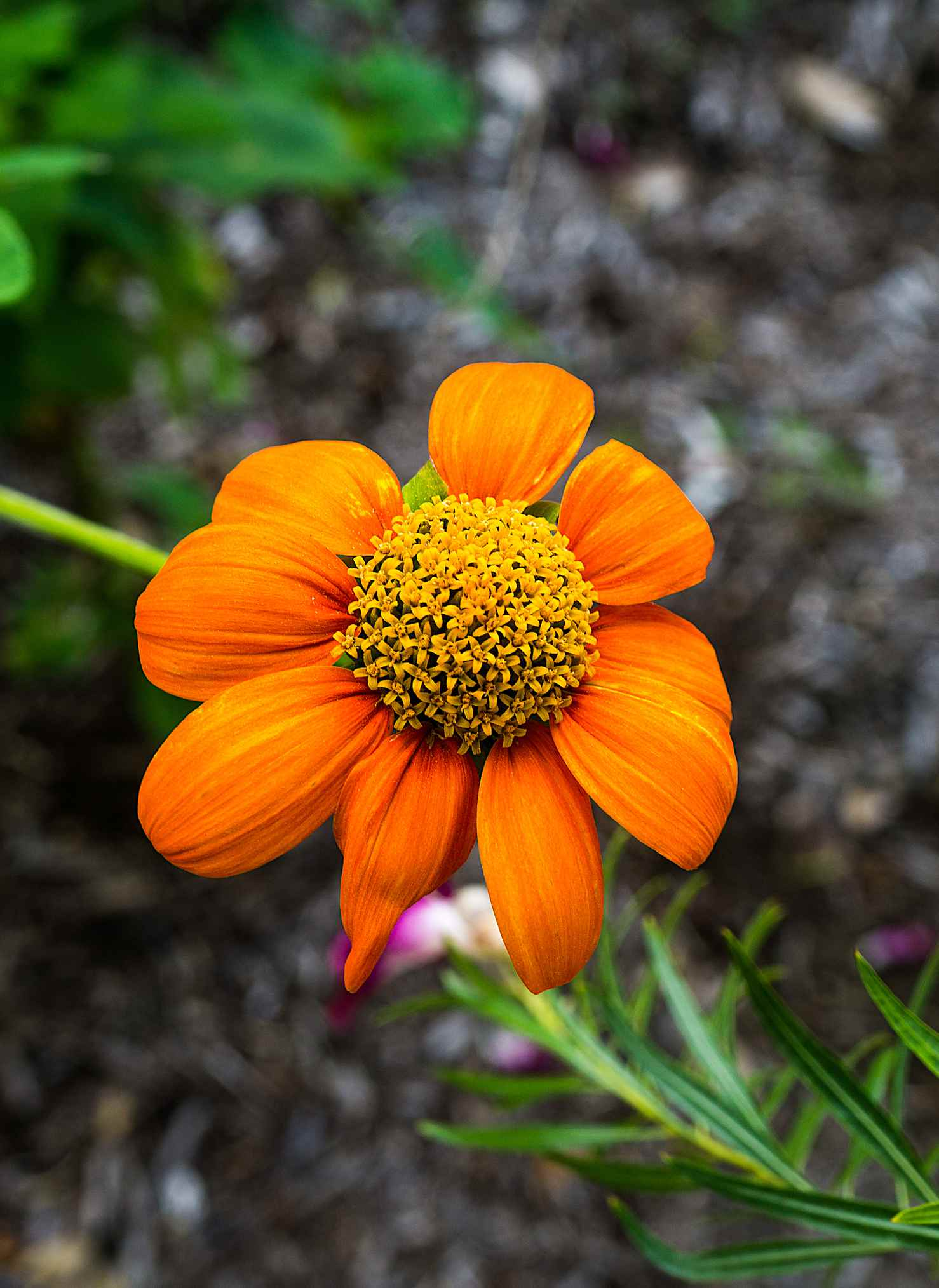Mexican sunflower in bloom