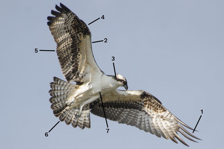 Osprey in flight ID