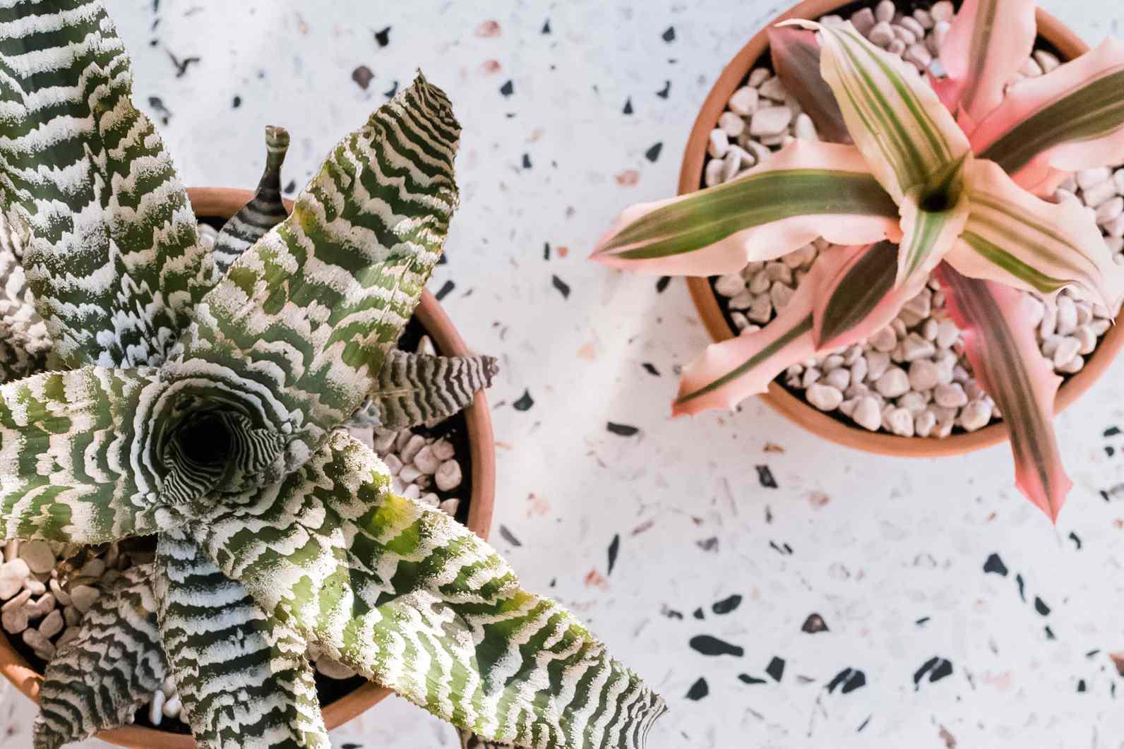 closeup of cryptanthus varieties