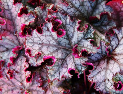 'Can Can' heuchera with gray and purple coloring