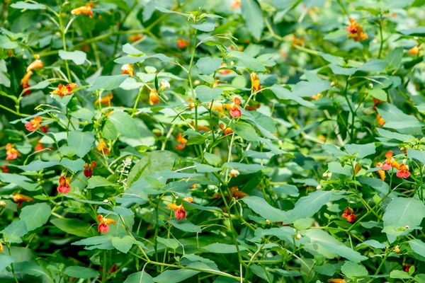Jewelweed plant with small orange and red flowers on thin stems surrounded by large leaves