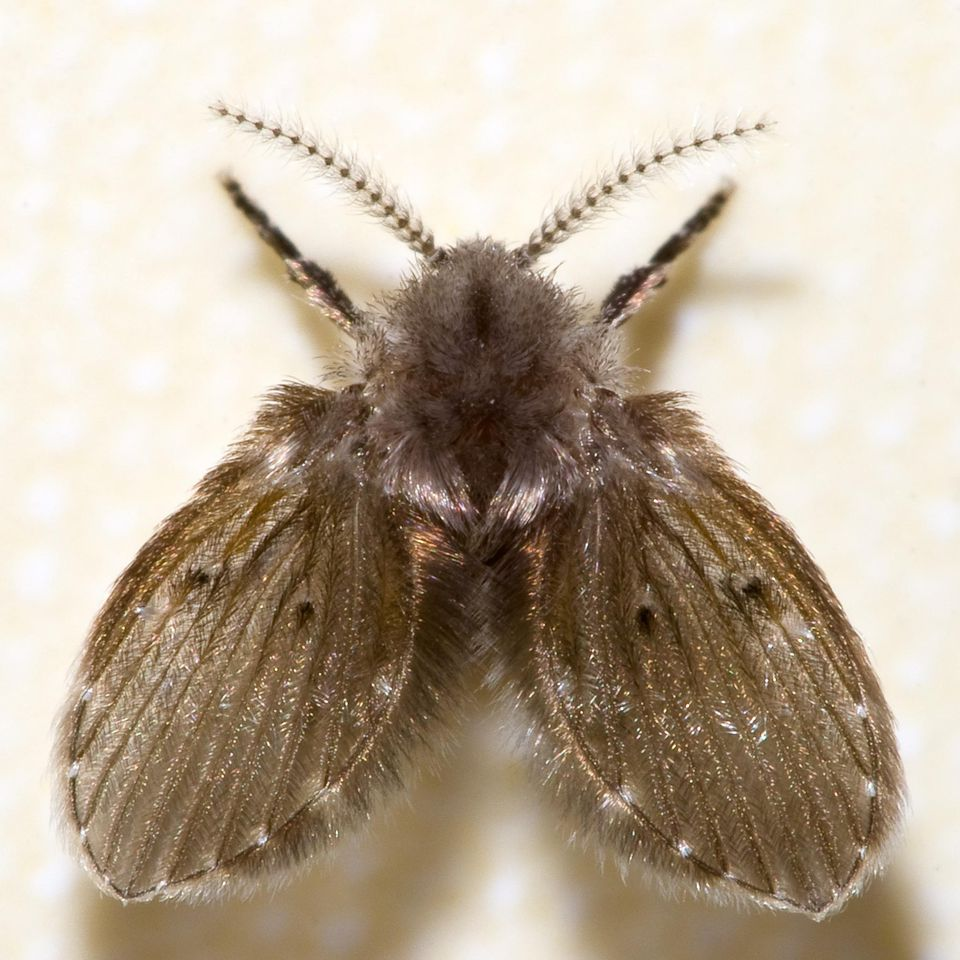 Close-up of a drain fly