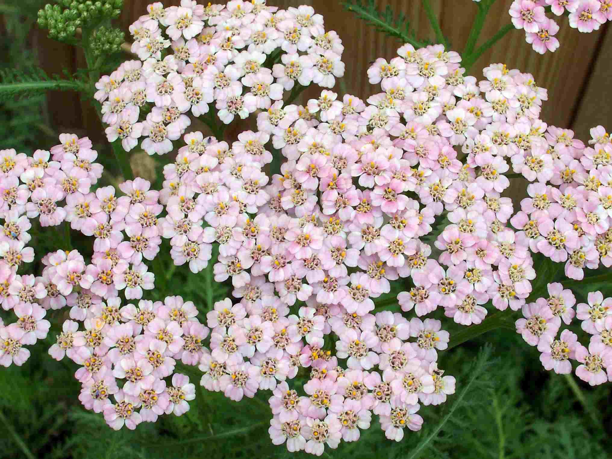 Milenrama Achillea millefolium