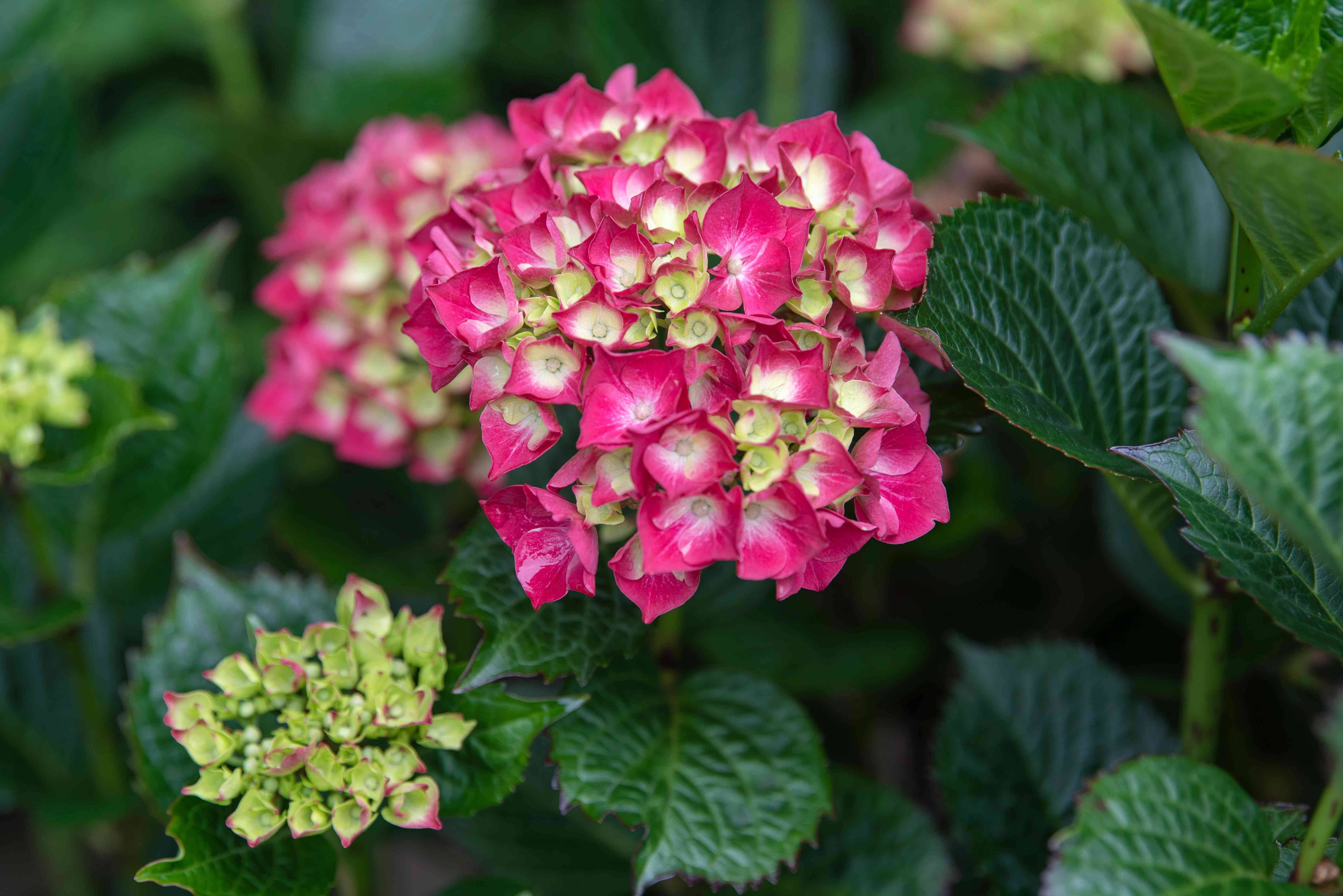 Mophead hydrangea shrub with ribbed leaves surrounding cluster of pink and light green flowers closeup