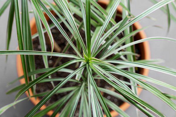closeup of a dracaena