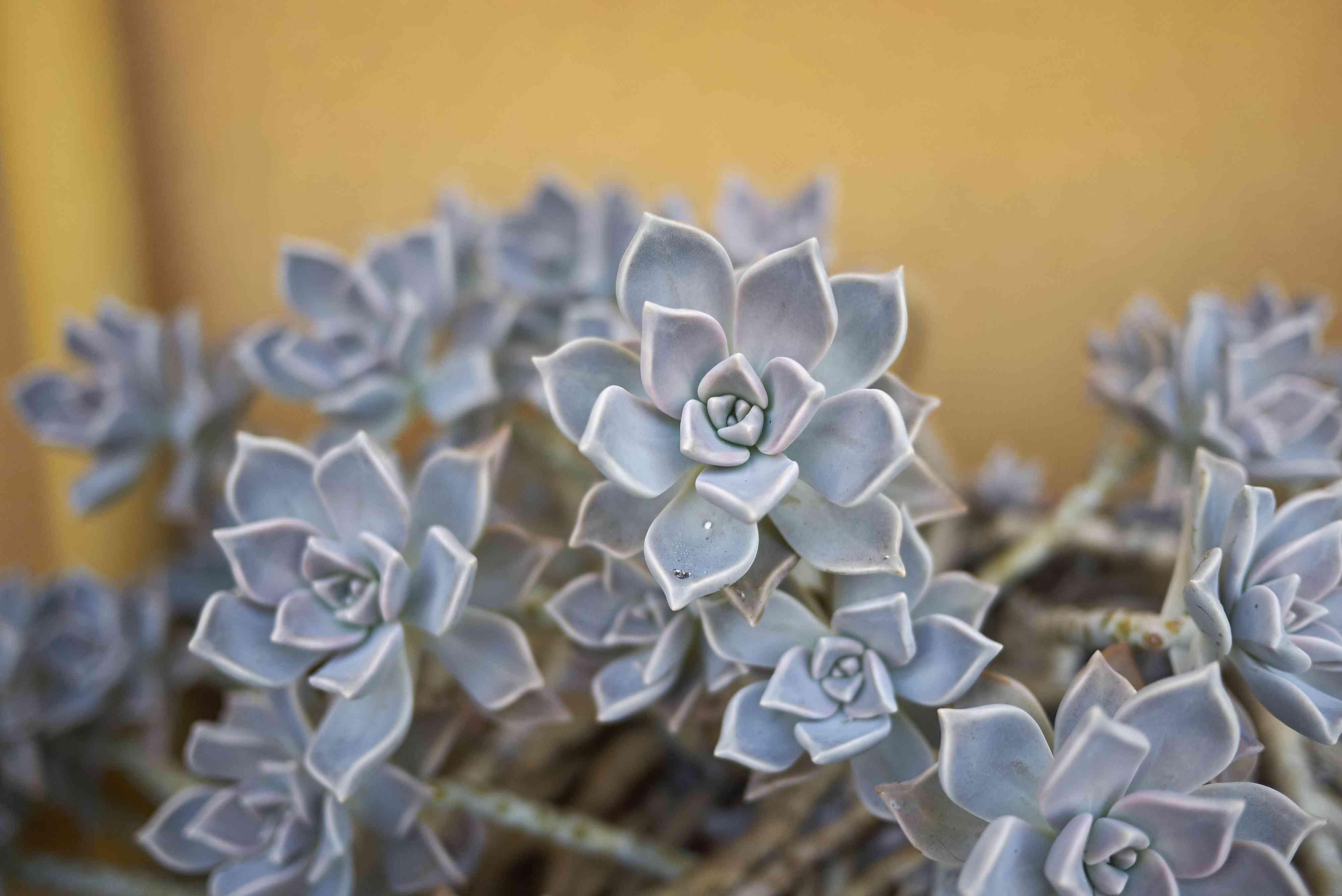 Ghost Plant (Graptopetalum paraguayense)