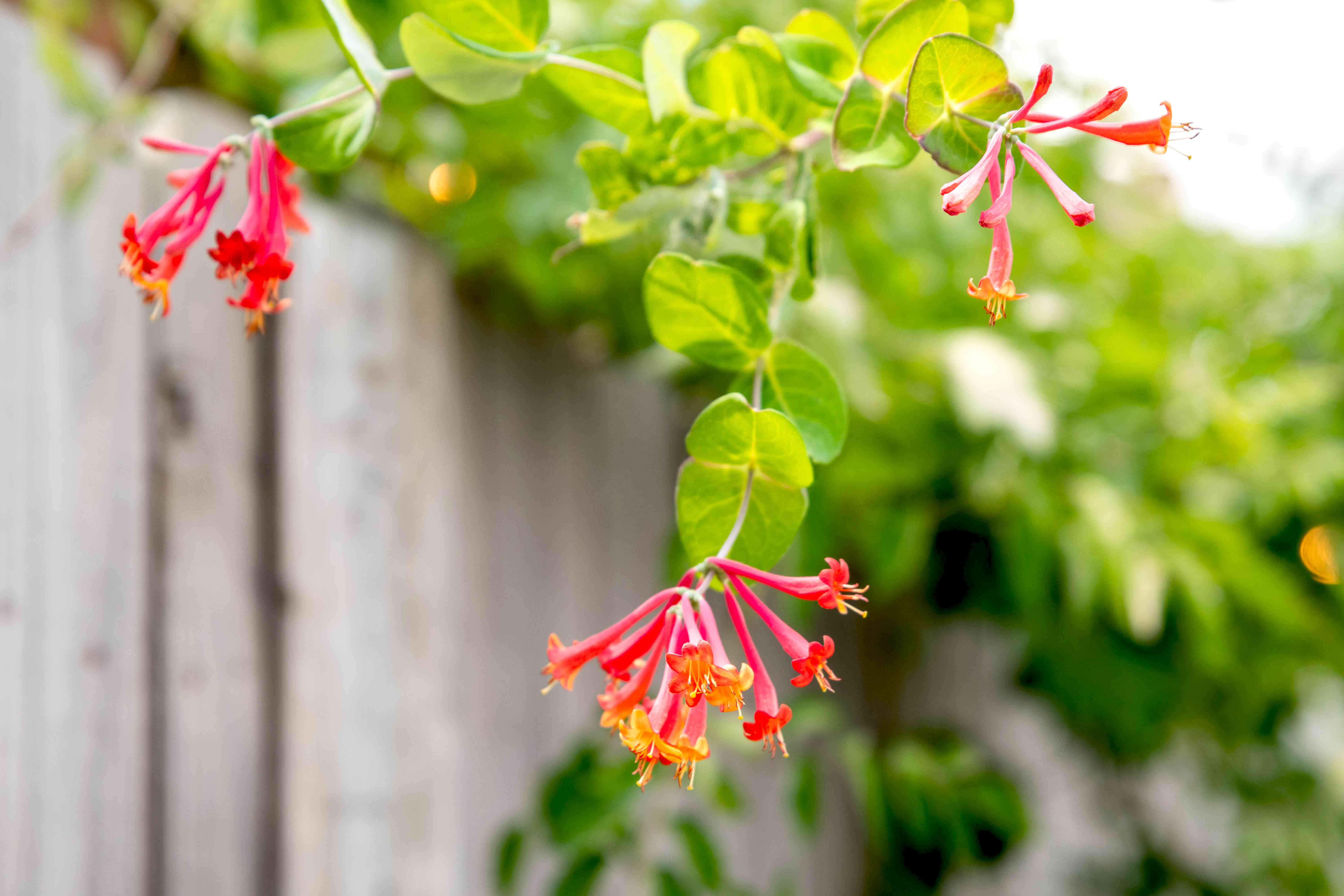 Coral honeysuckle plant with red tubular flowers on end of branch hanging over fence