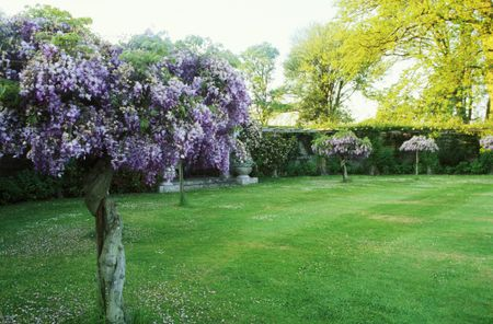 Train Shrubs And Vines As Small Flowering Trees