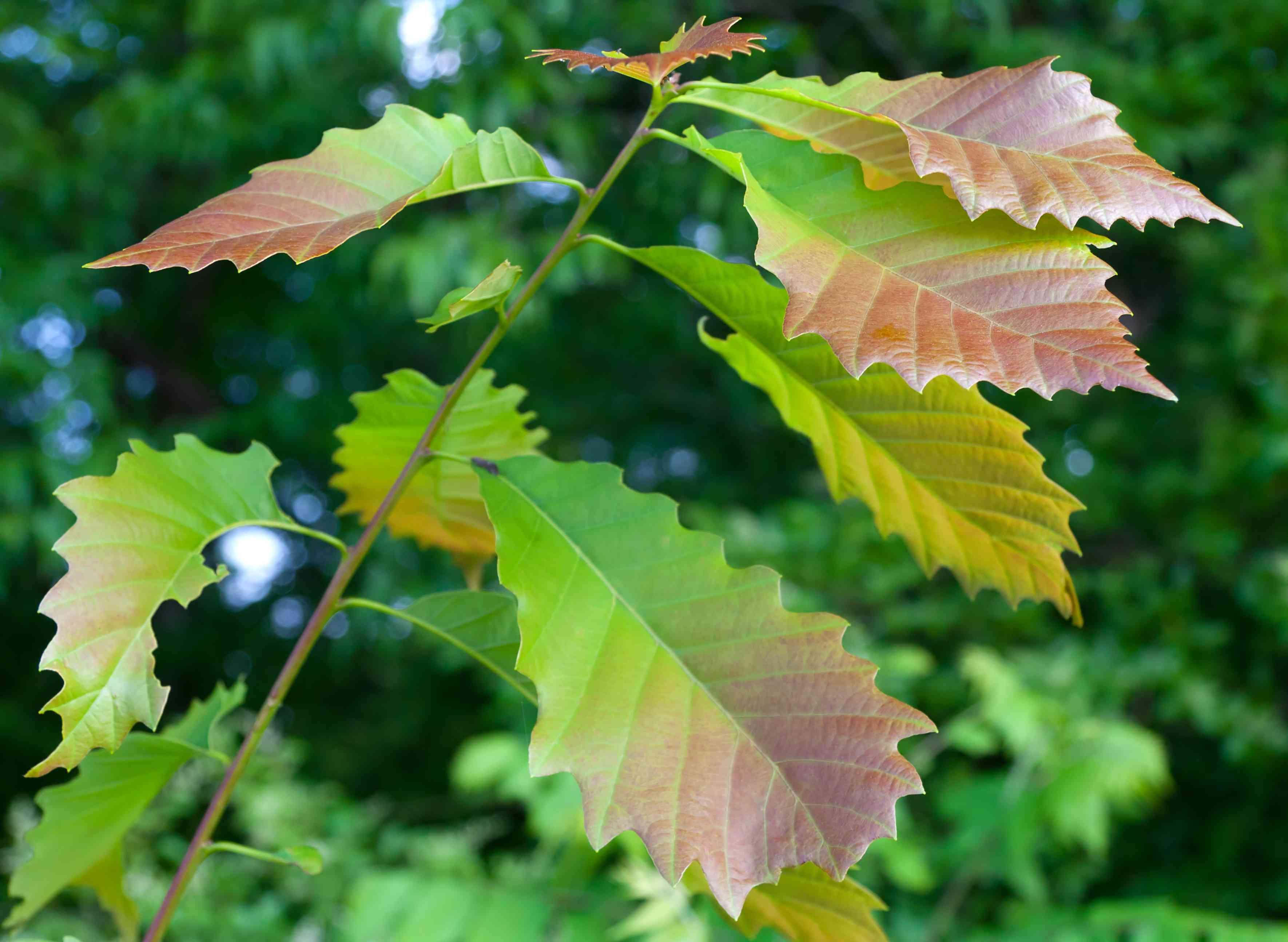 Leaves of a chinkapin oak sapling