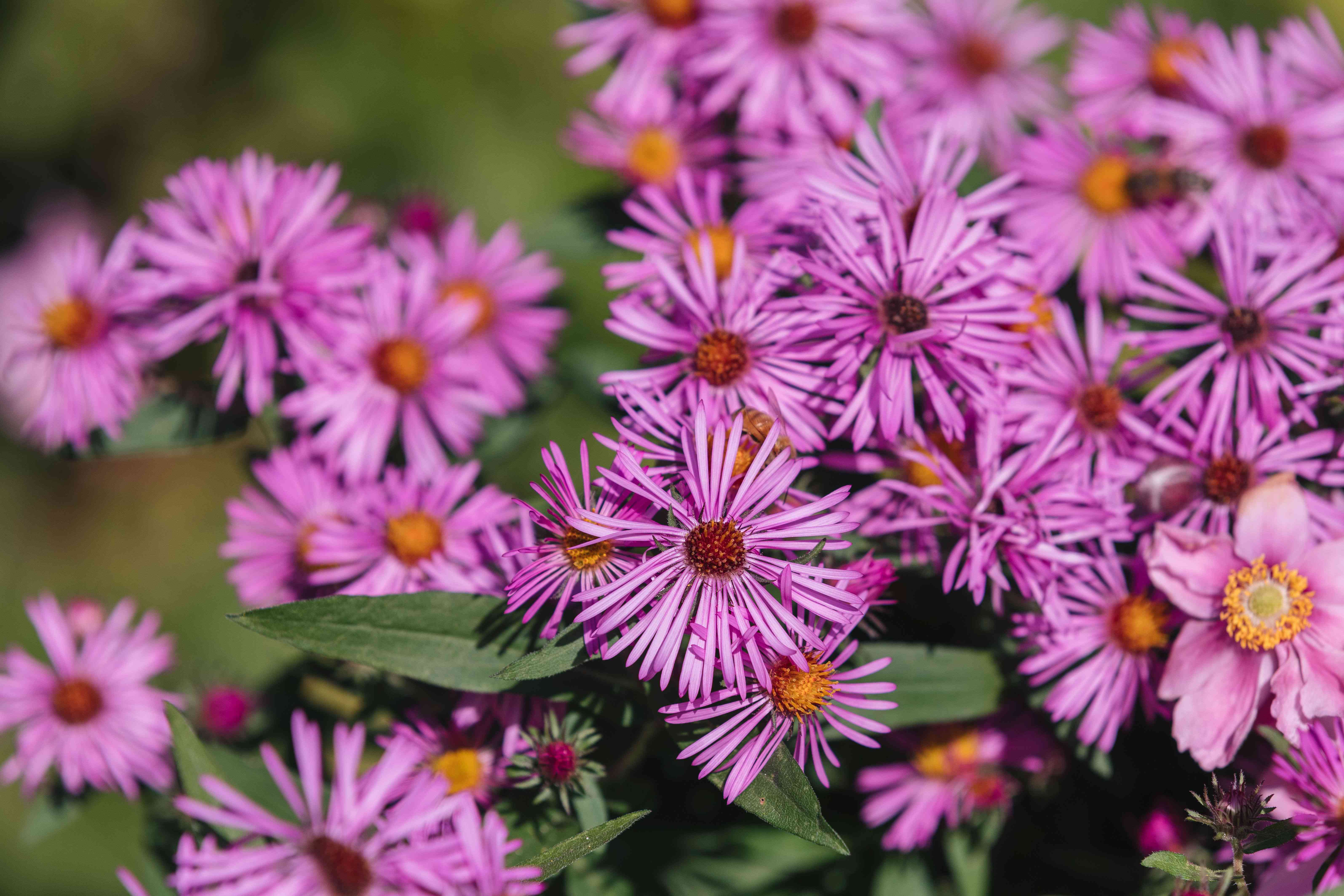 New England aster flowers with thin pink colored petals clustered in garden