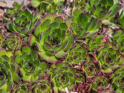 Hens and chicks succulent with green leaves and pink tips clustered together