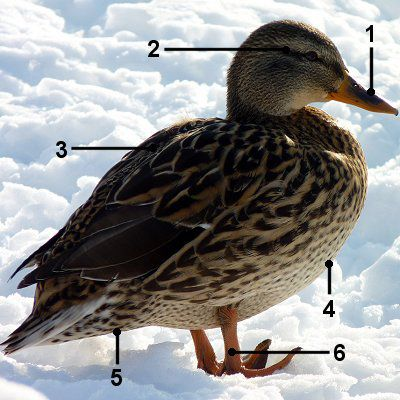 Female mallard in the snow with identifying markers.