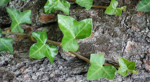 Common ivy picture.
