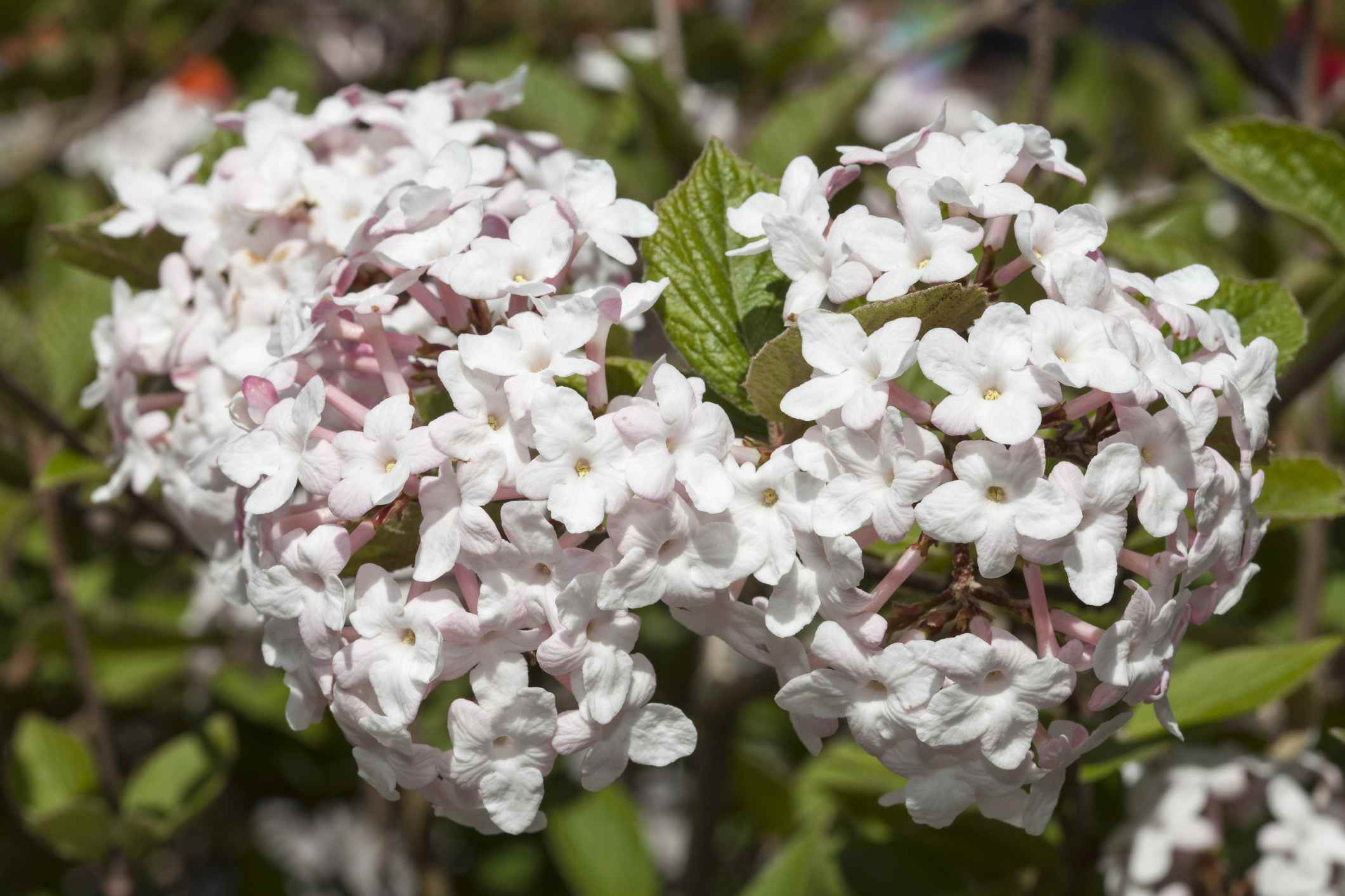Closeup of two flower clusters from a Korean spice viburnum bush.