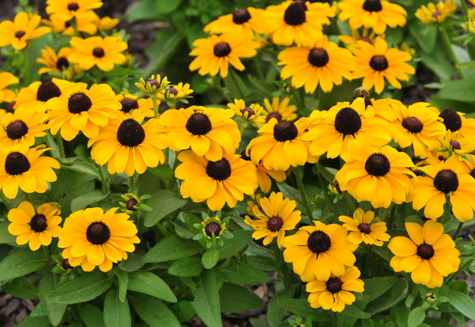 Black-eyed susan plants with small yellow flowers and buds