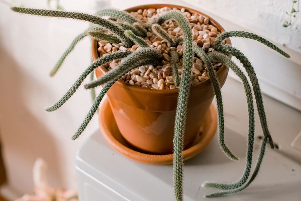 potted rat tail cactus